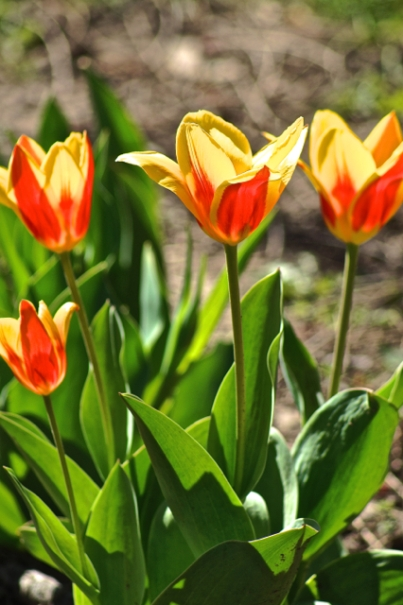 April in Bloom:  Tulips
